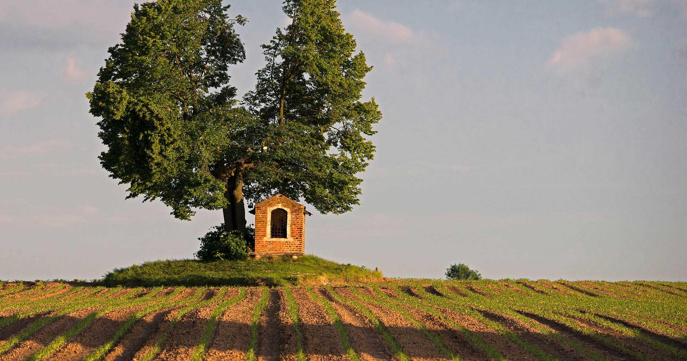 Chantry solitary oak