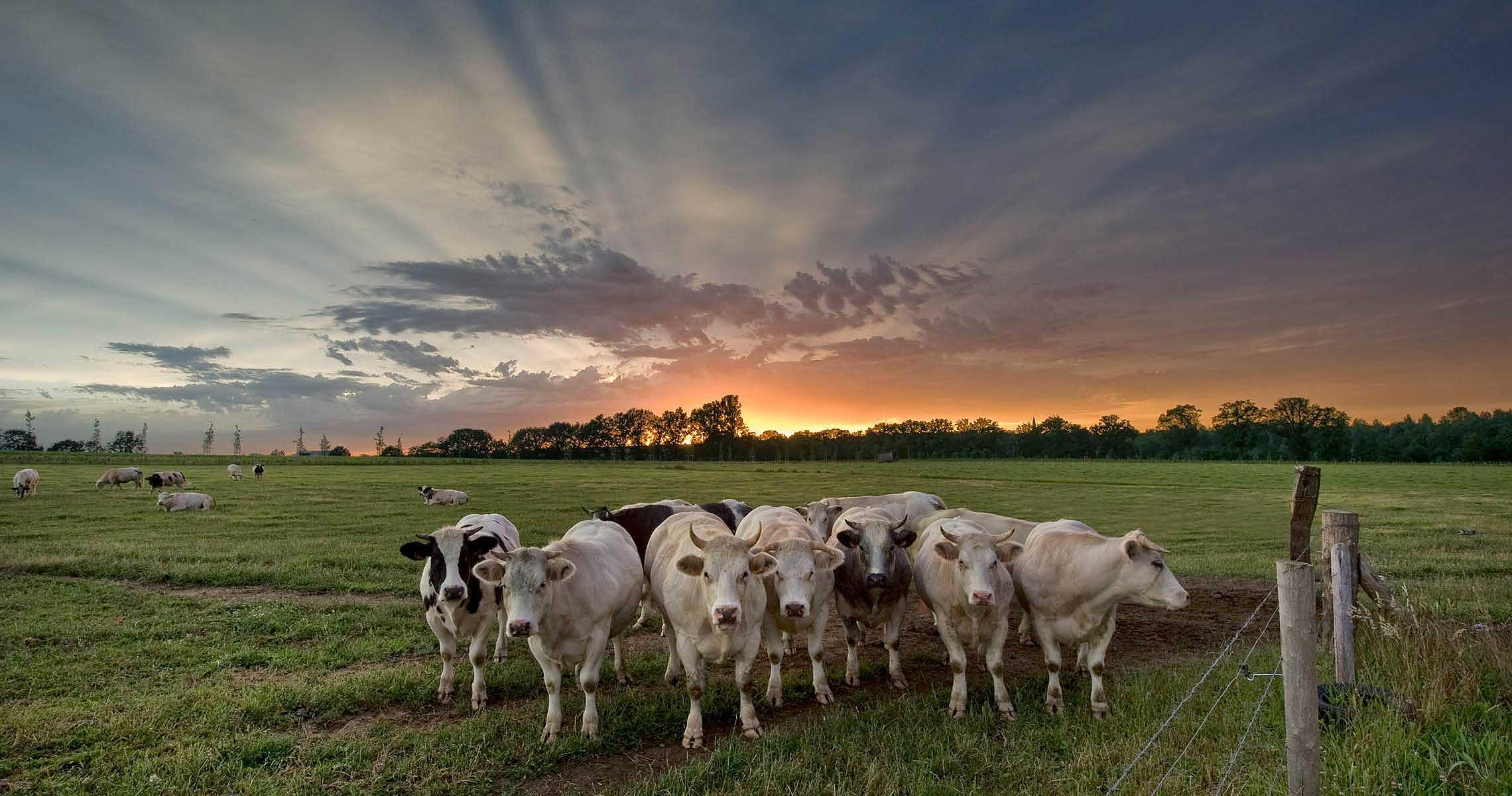 Cows close to B&B Het Rooj